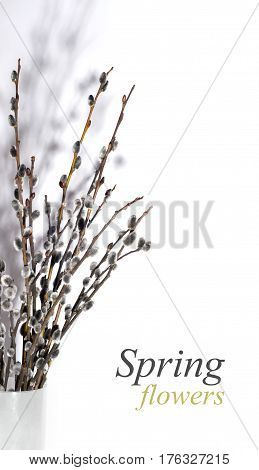 Spring flowers pussy-willow on white background. Beautiful Easter card