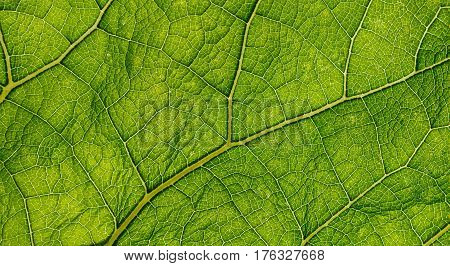 Fresh green burdock leaf texture backlit closeup. Natural foliage, botanic background, macro shot
