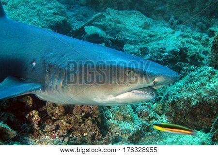 Whitetip Reef Shark (Triaenodon obesus). Coiba Panama