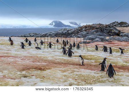 Gentoo Penguins Going Swimming, At Peterman Island, Antarctic