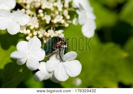 Flowering Spring Viburnum Opulus (guelder-rose) And Flower Chafer