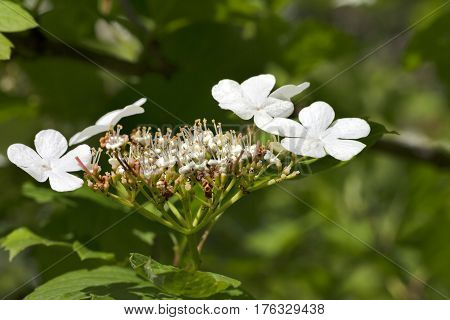 Flowering Spring Twigs Of Viburnum Opulus