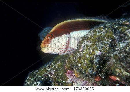 A Black-sided Hawkfish, Paracirrhites forsteri sits motionless on a coral reef at the Kwajalein Atoll in the Pacific