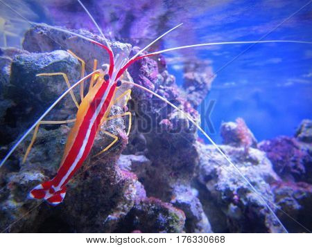 Type cleane Pacific shrimp caught on the coral aquarium