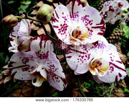phalaenopsis orchid with white polka dots detail in a botanical garden exhibition