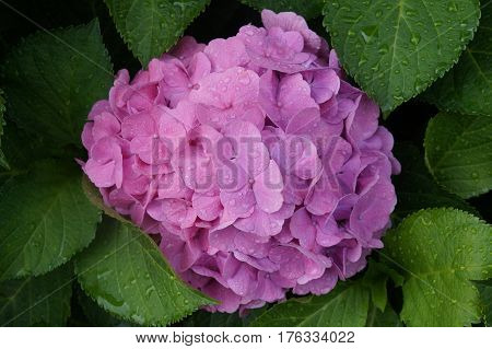 Head of pink hortensia flower with raindrops