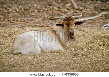 the goat is resting on a bed of hay