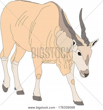 Portrait of an eland antelope, hand drawn vector illustration isolated on white background