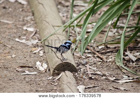the superb fairy wren is sitting on a log