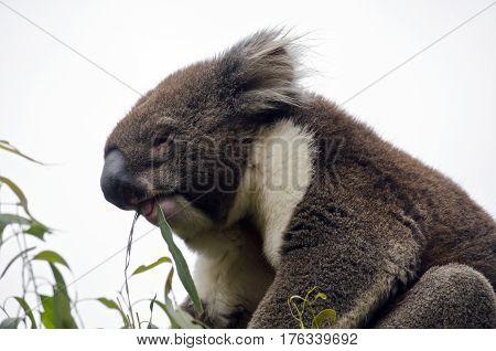 this is a close up of an Australian koala