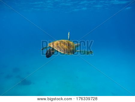 Sea turtle in water with dark blue background. Underwater photography of wild oceanic animal. Tropical seashore inhabitant. Lovely green turtle swimming and diving in sea water. Exotic nature photo