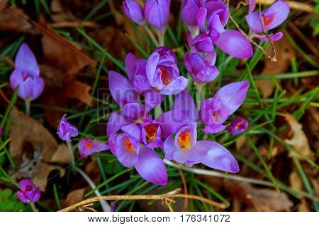 rich and fresh spring flowers Beautiful spring crocuses and galanthus in the garden