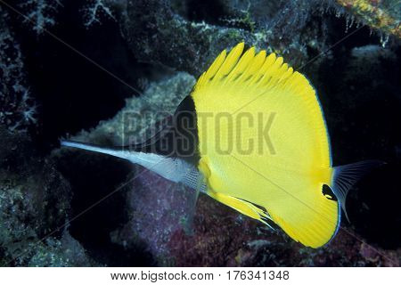 A Longnose Butterflyfish, Forcipiger flavissimus swims along a coral reef at the Kwajalein Atoll in the Pacific