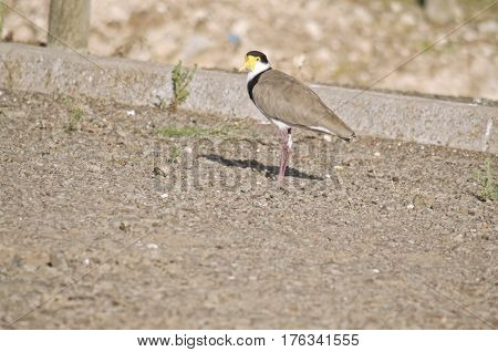 the masked lapwing is walking along the road