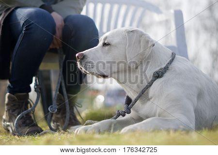 white labrador retriever dog with leash waiting on the ground
