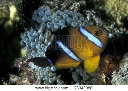 A Three Stripe Anemonefish, Amphiprion  tricinctus swims close to it's host anemone at the Kwajalein Atoll in the Pacific