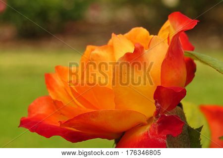 Close up of a beautiful orange coral rose flower growing in a garden