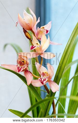 beautiful orchids bloom in the spring cymbidium faberi rolfe