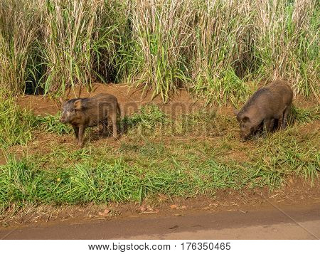 Feral pigs in the uplands on the Hawaiian Island of Kauai. The state is trying to eliminate the pigs as a result of the damage caused to the environment.