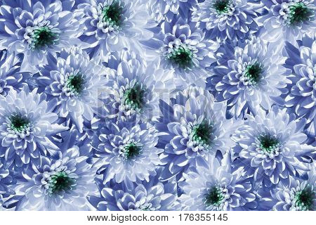 Flowers background. Flowers white-blue Chrysanthemums. Much chrysanthemums with a green center. floral collage. flowers composition. Nature. 3D illustration.