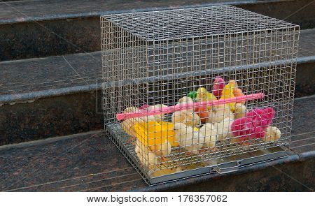 closeup photo of Colored chicks in cage
