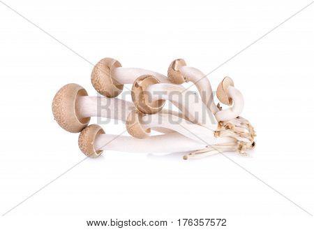 shimeji mushroom brown beech mushroom on white background