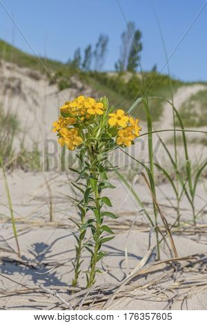 Yellow Puccoon Growing In A Freshwater Sand Dune Ecosystem - Ontario, Canada