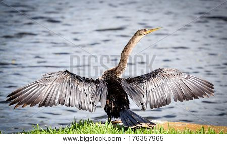 Bird near lake with outstretched wings and water and green grass
