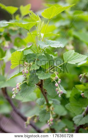 Bushes Of A Flowering Currant In The Open Air Grow Close Up In The Garden On The Chernozem. Selectiv