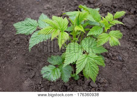 Bushes Of Young Raspberries, A Seedling In The Open Air Grows Close Up In The Garden On The Chernoze