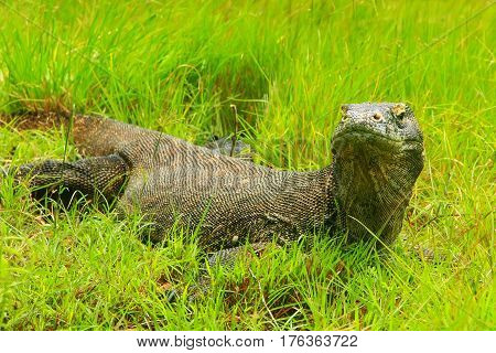 Komodo dragon (Varanus komodoensis) lying in grass on Rinca Island in Komodo National Park Nusa Tenggara Indonesia. It is the largest living species of lizard