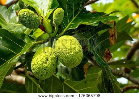 Breadfruit Tree With Fruits