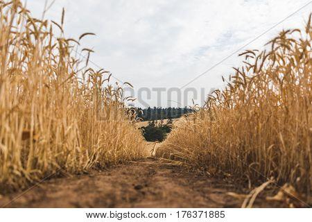 Wheat Field In Rural Farm Land