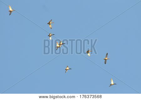 Flock of migratory ducks on background blue sky