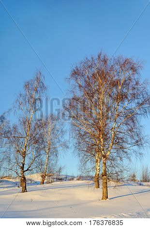 Bare birch trees on a ravine at sunset winter time