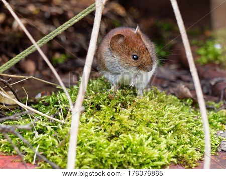 A mouse in a green dusk moss