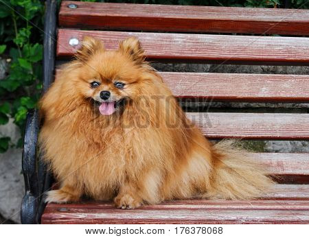 Spitz dog sitting on a bench close up.