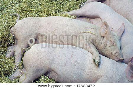 pigs babys