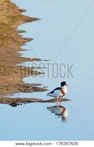 Common Shelduck in River Axe estuary near Seaton