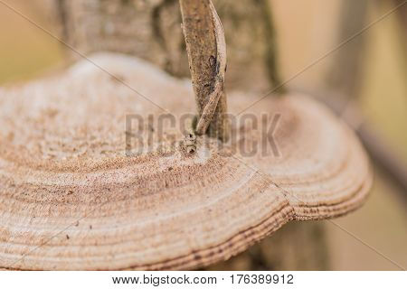 Close up of a small tree branch which has grown through a brown and white shelf mushroom