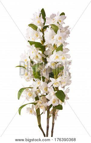 White Dendrobium Nobile_2