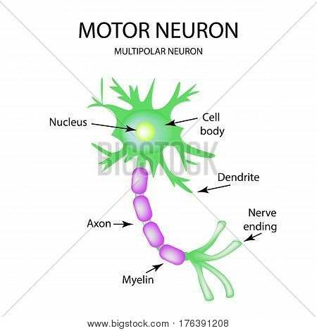 The structure of the motor neuron. Infographics. Vector illustration on isolated background.