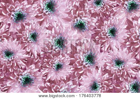 Flowers background. Flowers white-pink Chrysanthemums. Much chrysanthemums with a green center. floral collage. flowers composition. Nature. 3D illustration.