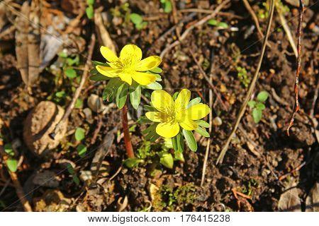 Winter aconite (Eranthis hyemalis) flowering plant in spring