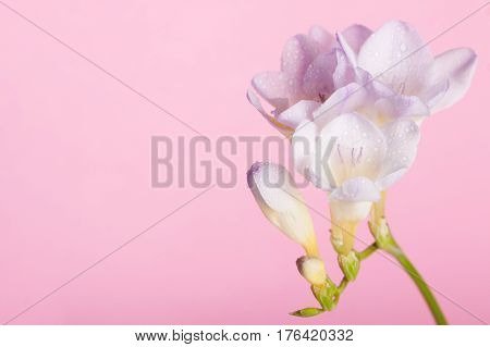 Lilac freesia on the pink background. Concept of spring Women's Day Mothers day 8 March the holiday greetings tenderness femininity. Place for your text