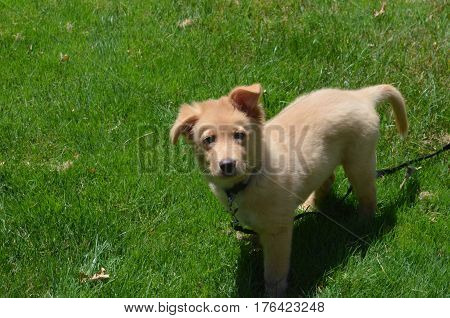 Adorable toller puppy dog on a leash in green grass in the summer.