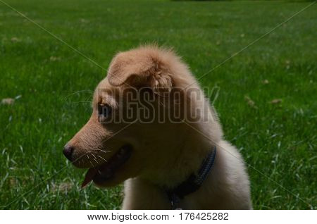 Beautiful profile of a Yarmouth Toller puppy dog in the summer.