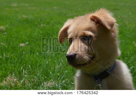 Very sweet Nova Scotia Duck Tolling Retriever puppy dog in the grass.