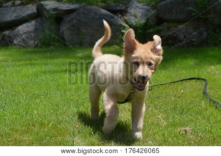 Flying ears on a running toller puppy dog on a leash.