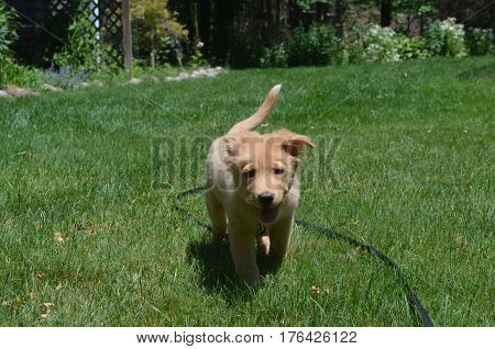 Adorable toller cute puppy dog walking through green grass.